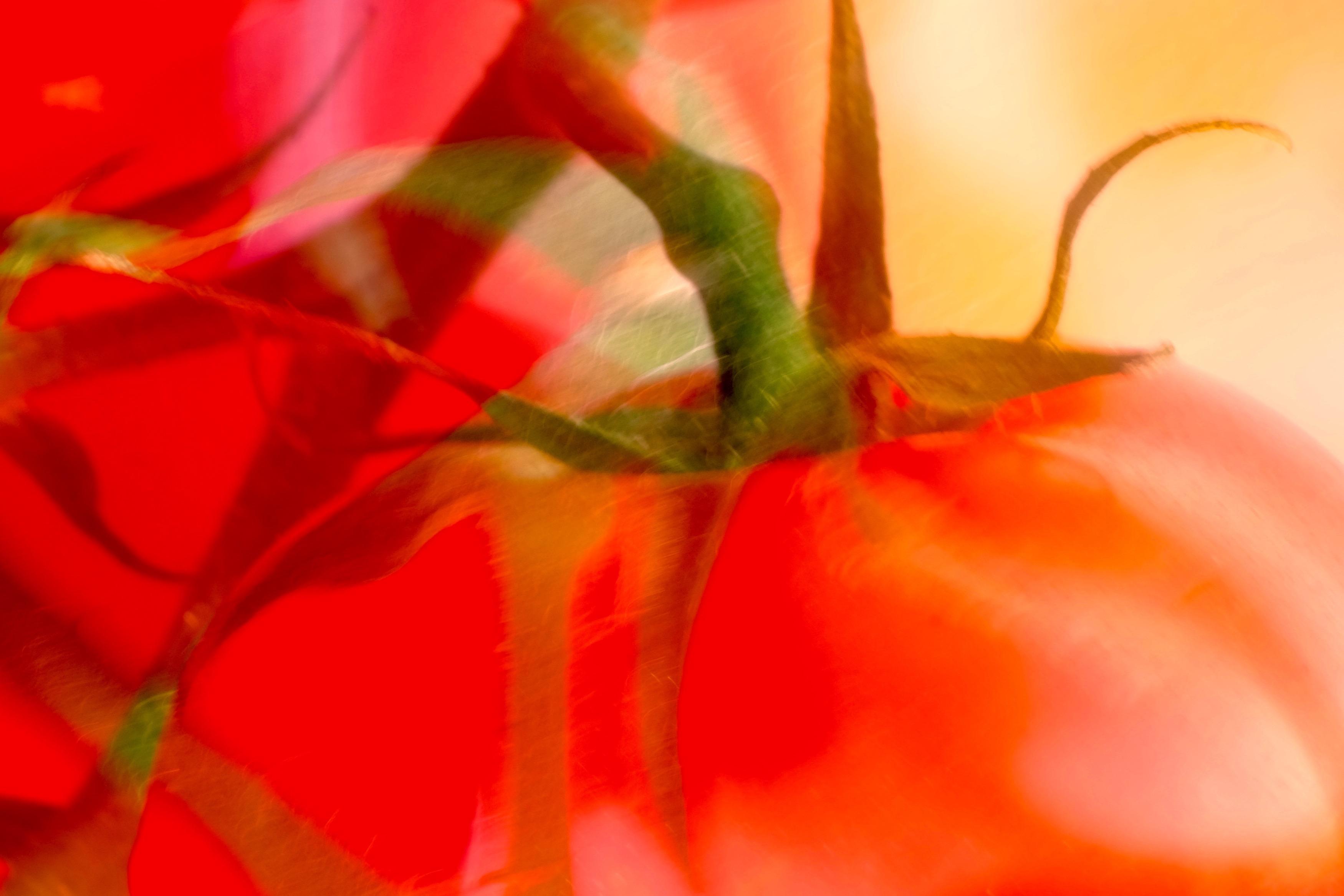tomatoes 8 © KIM JONKER