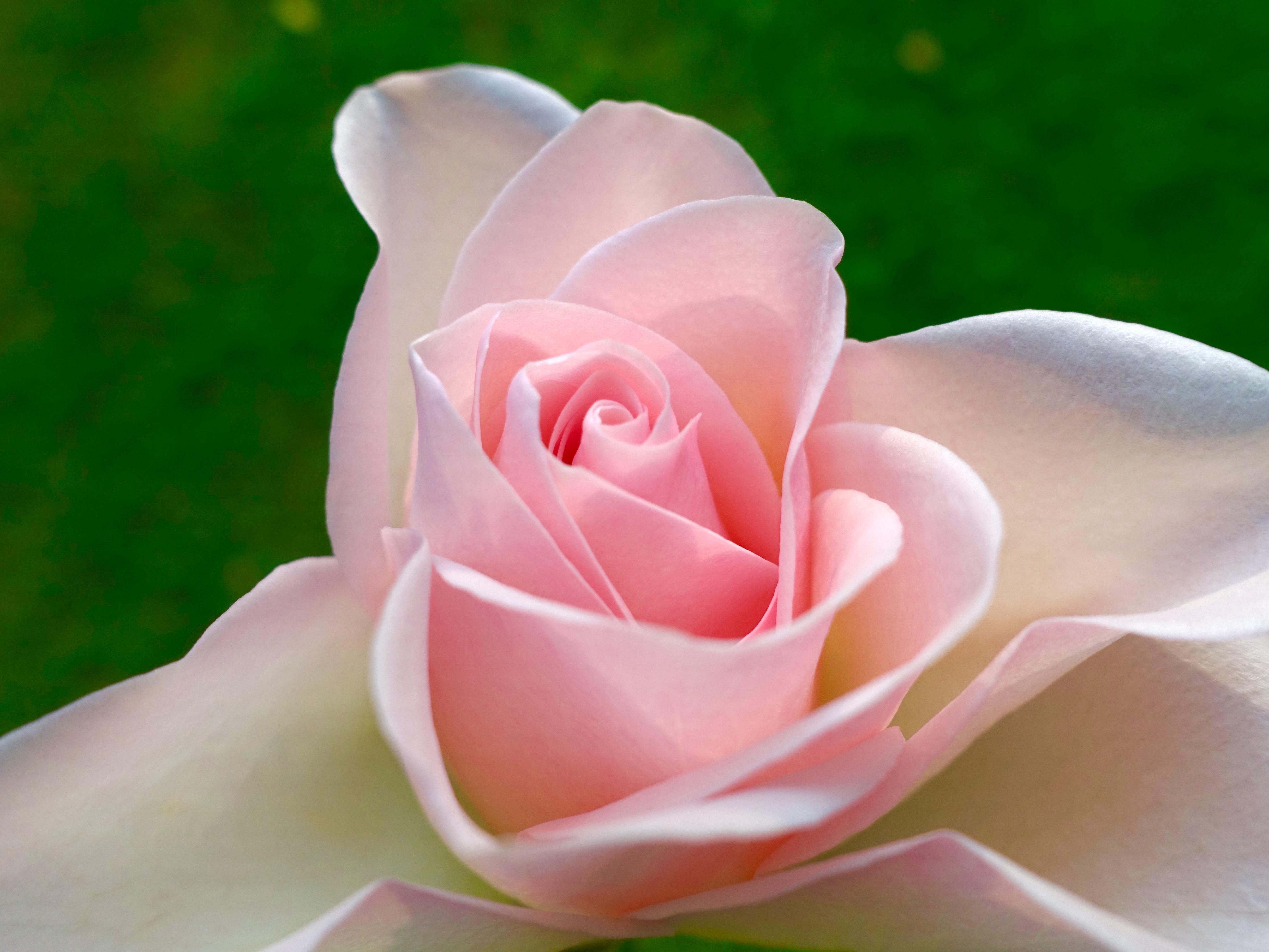 pink rose © KIM JONKER