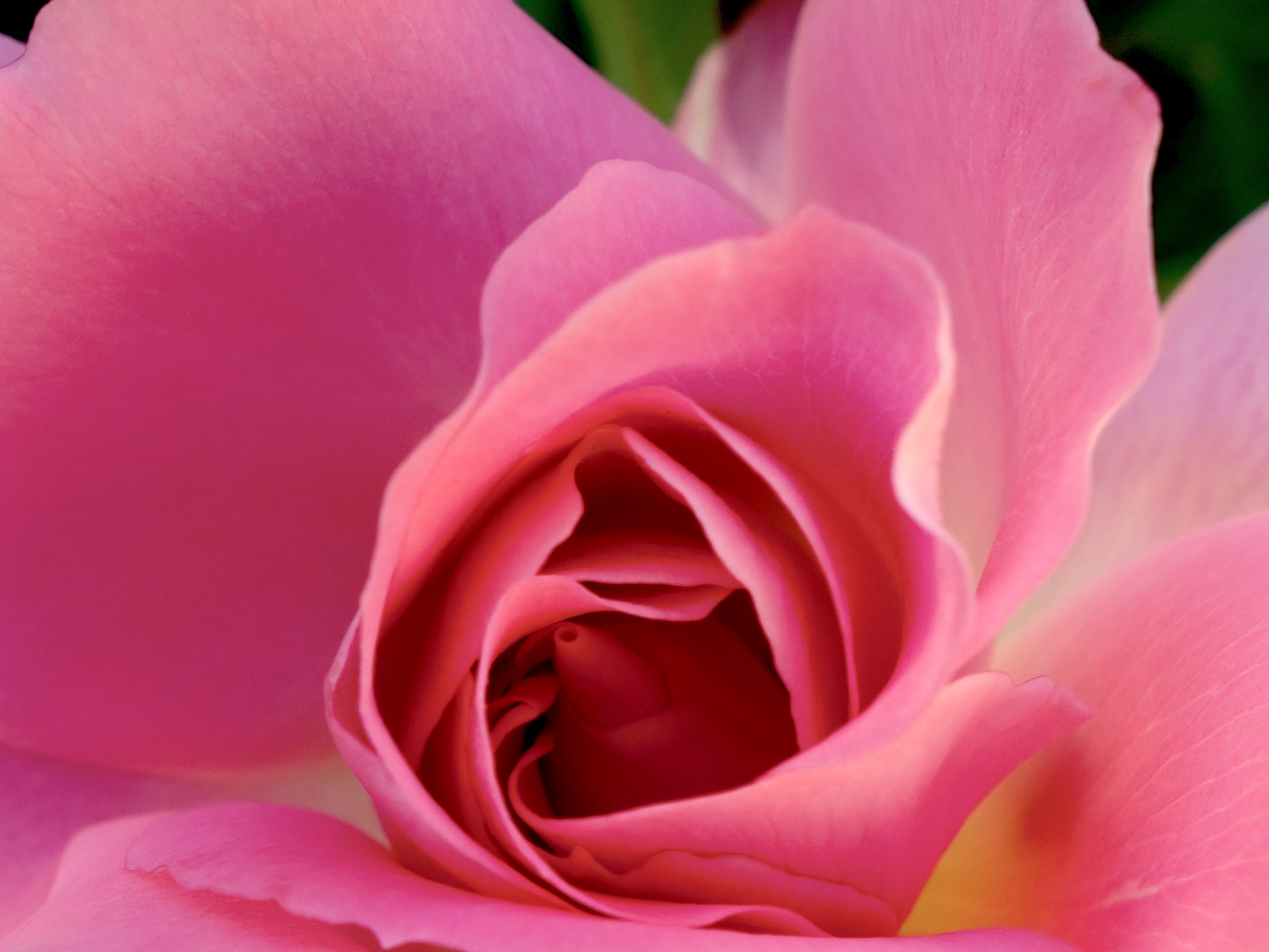 rose 5 © KIM JONKER