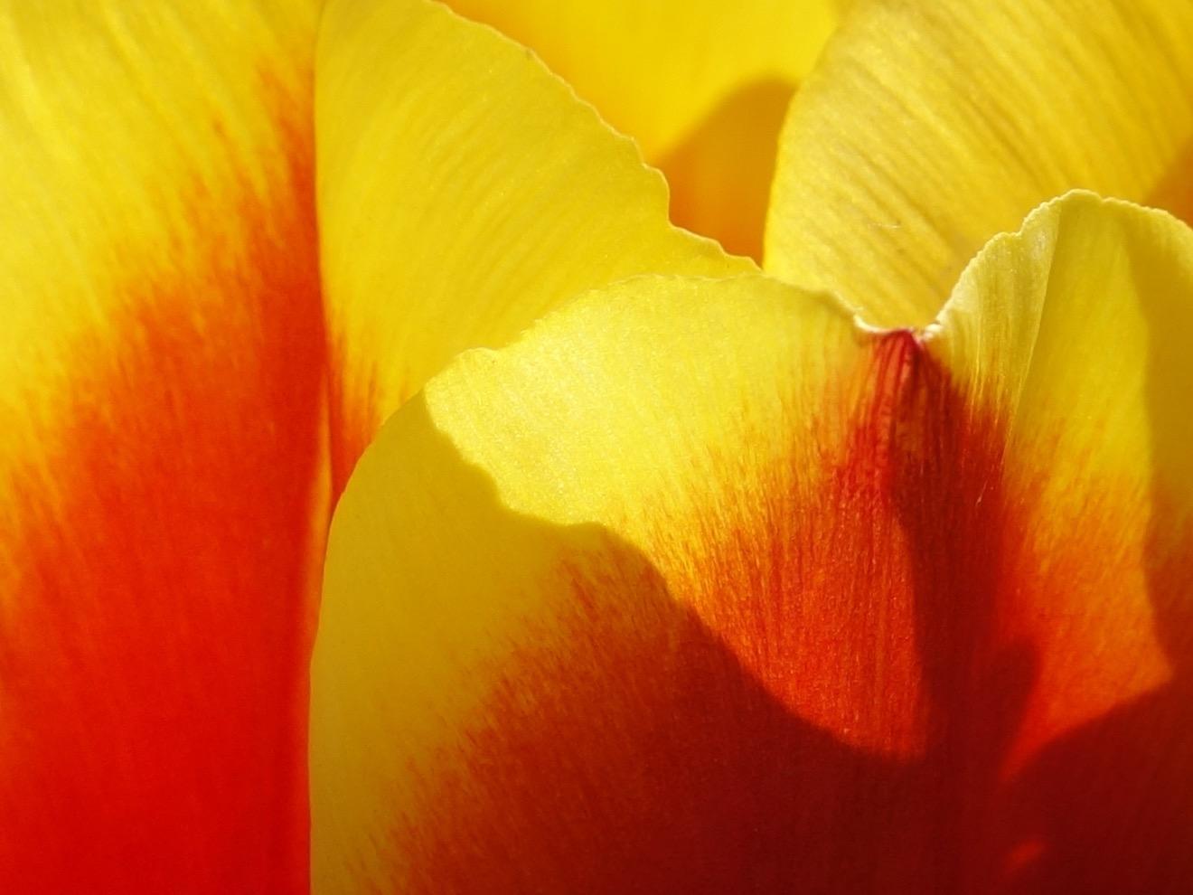 tulip 5 © KIM JONKER