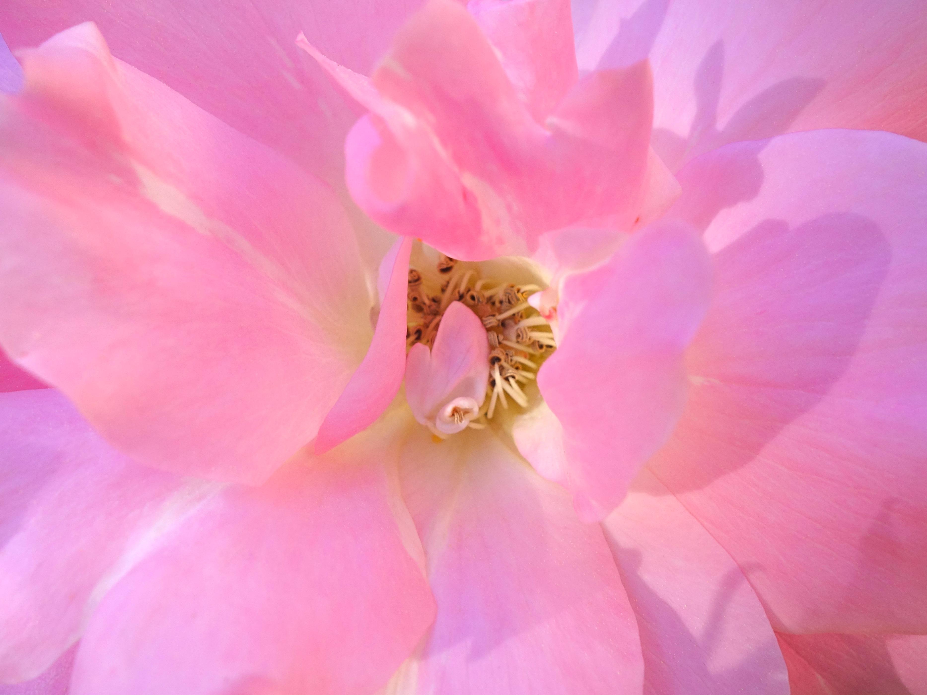 rose 3 © KIM JONKER